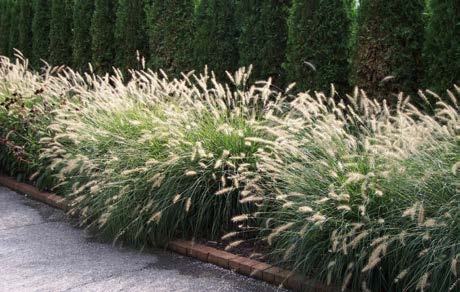 Pennisetum alopecuroides 'Hameln'Fountain Grass - Mature size: 2-3' W x 2-3' HNotes: Graceful clump-forming grass with narrow foliage; attractive seedheads in fall