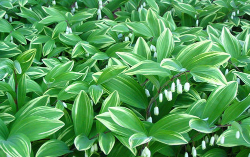 Polygonatum 'Variegatum'Variegated Solomon's Seal - Mature size: 0.5-1' W x 0.25' HNotes: Upright, arching perennial; small bell-shaped white flowers dangle from the underside of stems in spring; forms colonies in optimumconditions
