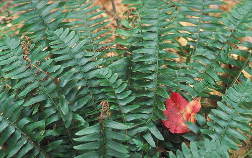 Polystichum acrostichoidesChristmas Fern - Mature size: 1-2' W x 1-2' HNotes: Evergreen fern with leathery, lance-shaped fronds; fountain-like clump; good winter interest
