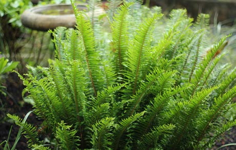 Polystichum munitumShield Fern - Mature size: 2-3' W x 2-3' HNotes: Attractive, upright form; leathery, evergreen foliage; feathery texture