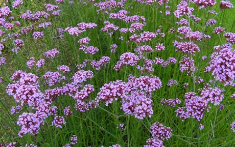 Verbena bonariensisTall Verbena - Mature size: 1.5-3' W x 2-4' HNotes: Sparsely-leaved stems with tiny rose-violet flowers; long summer to fall bloom period