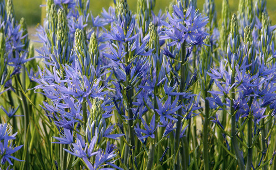 CamassiaCamas - Mature size: 3'HNotes: Starry, purple-blue flowers on tall stems; strappy, grass-like foliage; blooms in late spring