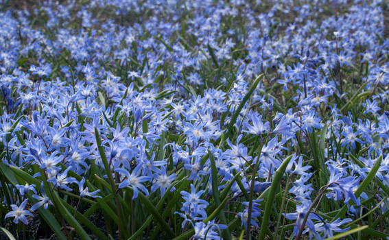 ChionodoxaGlory of the Snow - Mature size: 0.25-0.5' W x 0.5-0.75' HNotes: Delicate blue flowers; early spring