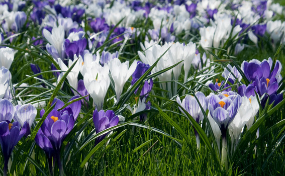 """Crocus 'Hokus Crocus' (blend)Crocus - Mature size: 3-6"""" W x 5"""" HNotes: Mix of purple and white blooms in early spring; will naturalize in lawn areas"""