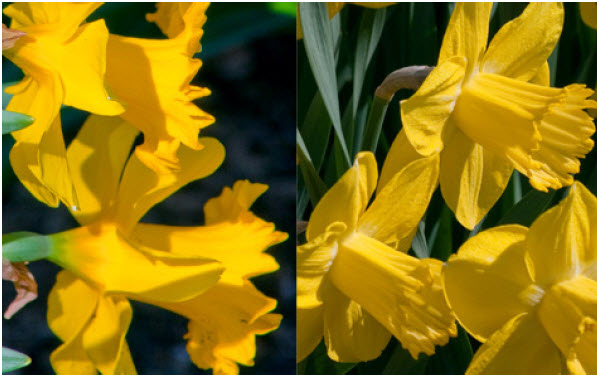 Narcissus '3D' (mix)3D Daffodil Mix - Mature size: 1-1.5' W x 1-1.5' HNotes: A trio of bright yellow daffodils that bloom in succession from early to late spring