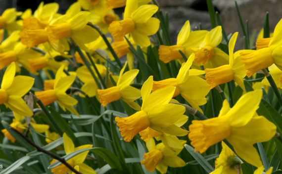 """Narcissus 'Jetfire'Jetfire Daffodil - Mature size: 10"""" HNotes: Cheerful yellow flowers with orange cups in early spring; small but prolific daffodil; will naturalize"""