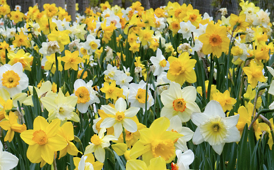 Narcissus 'Spring Loaded' (blend)Spring Loaded Daffodill - Mature size: 1' HNotes: A blend of twenty varieties in a mix of colors and forms; provides a long succession of blooms