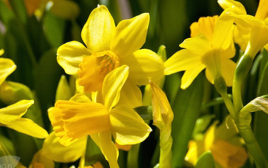 """Narcissus 'Tete-a-Tete'Daffodil - Mature size: 6-12"""" HNotes: Cheerful yellow flowers in early spring; will naturalize"""