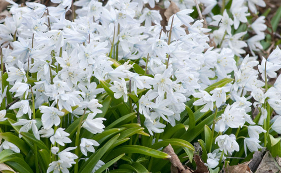"""Scilla mischtschenkoanaWhite Squill - Mature size: 5"""" HNotes: Milk white flowers culstered on short stalks; very early bloomer; will naturalize"""