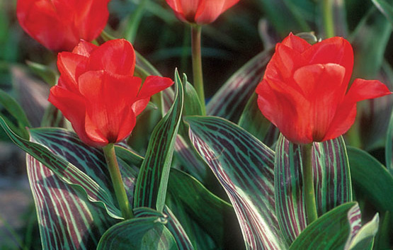 """Tulipa greigii 'Red Riding Hood'Tulip - Mature size: 10-12"""" HNotes: Bright red flowers with a black base atop short stems in spring; dramatic striped leaves;perennial"""