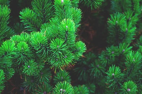 Evergreen Shrubs -