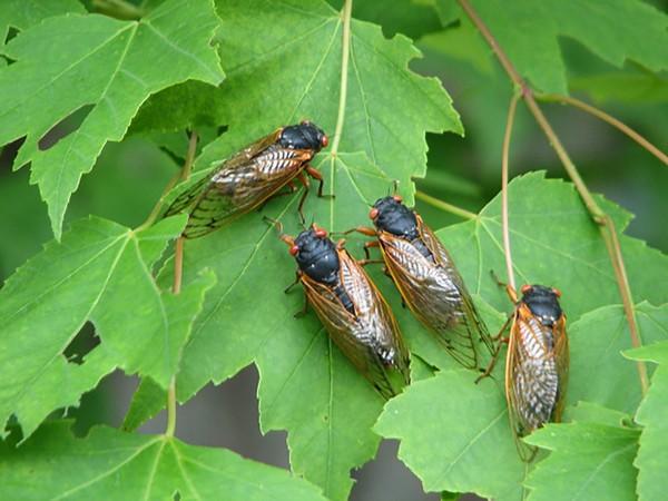cicada-03jpg-834175e4a1e7bcca.jpg