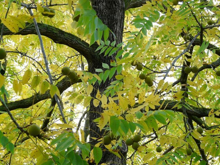 Black Walnut tree ( Juglans nigra )
