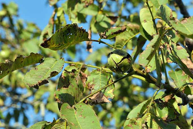 Juglone symptoms on apple tree saplings
