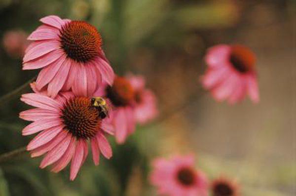 Coneflower ( Echinacea spp. )