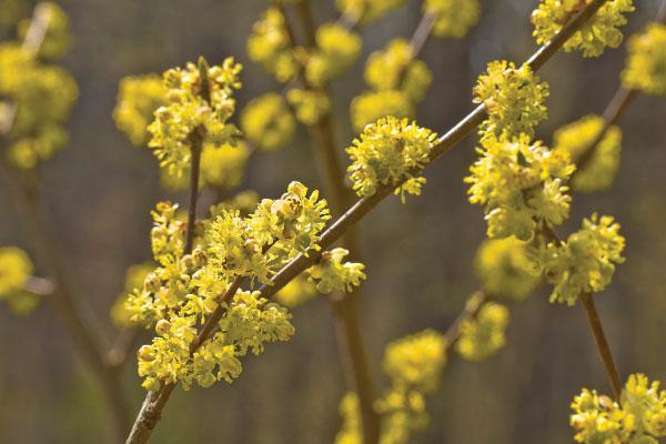 Spicebush ( Lindera spp. )