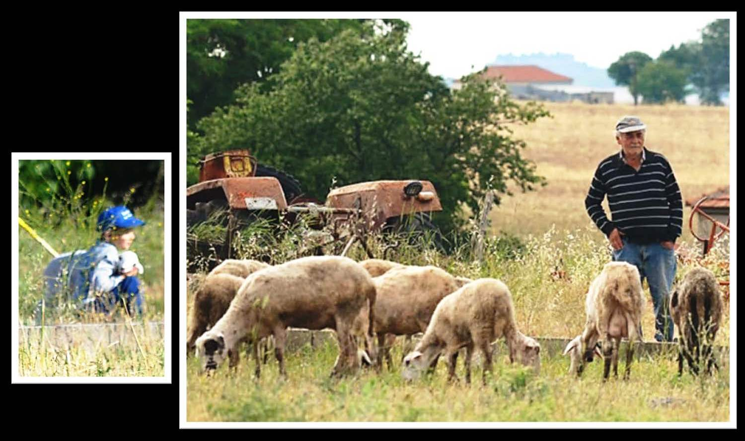 Shepherd and his grandson, each uniquely caring for their flock in a small village in Thessaly, Greece.