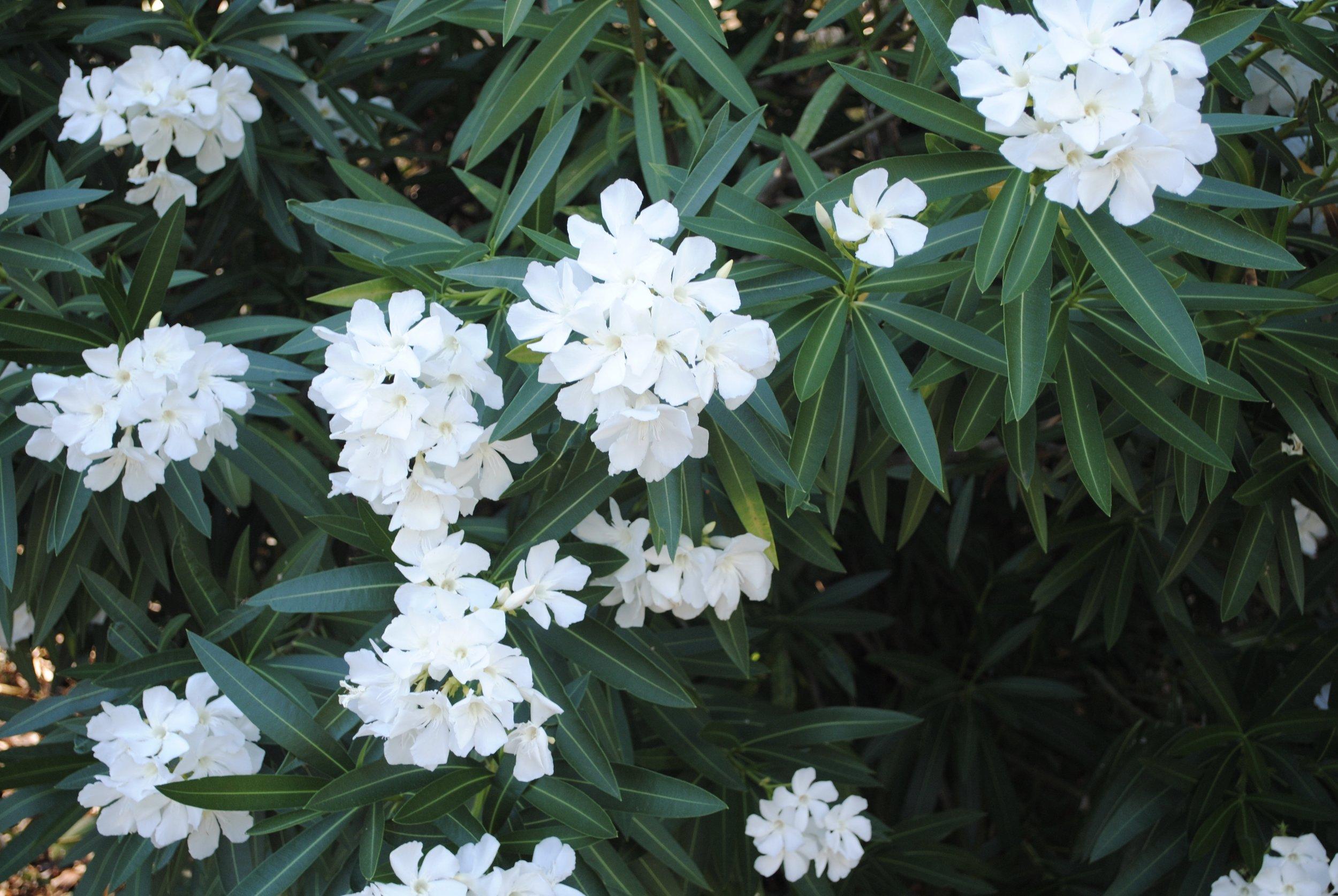 Blooming Oleader