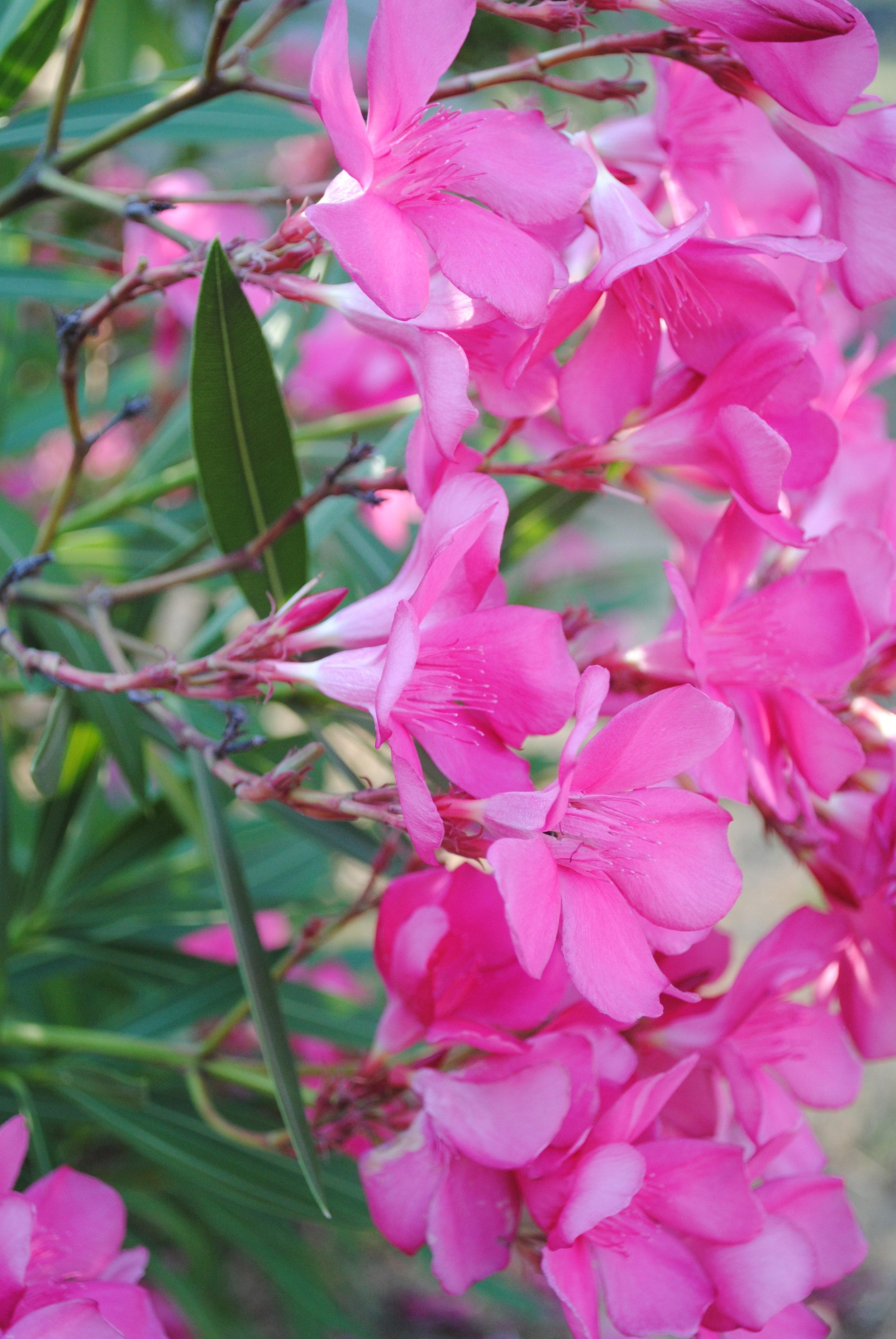 Blooming Oleander