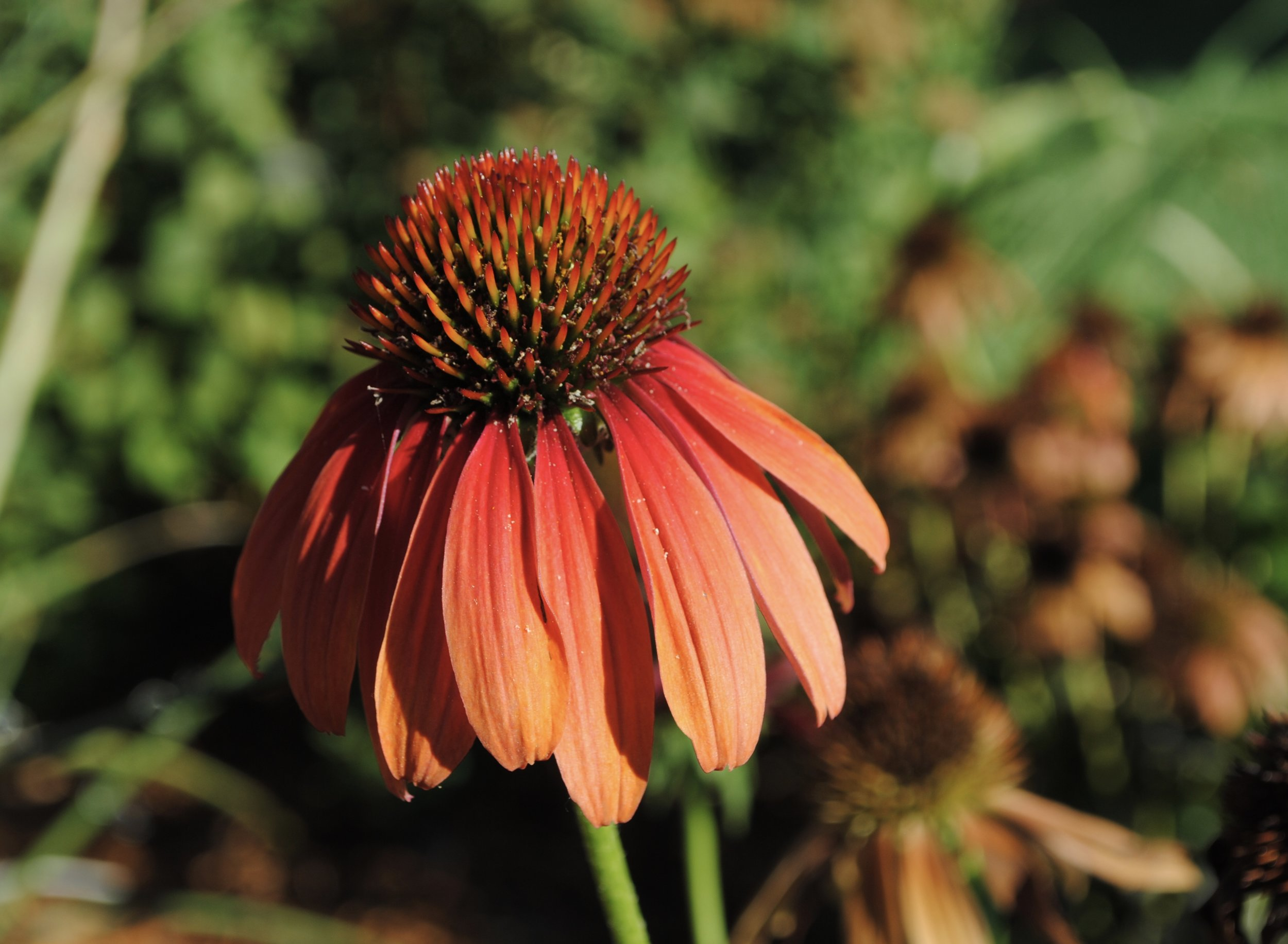 Echinacea, or coneflower.