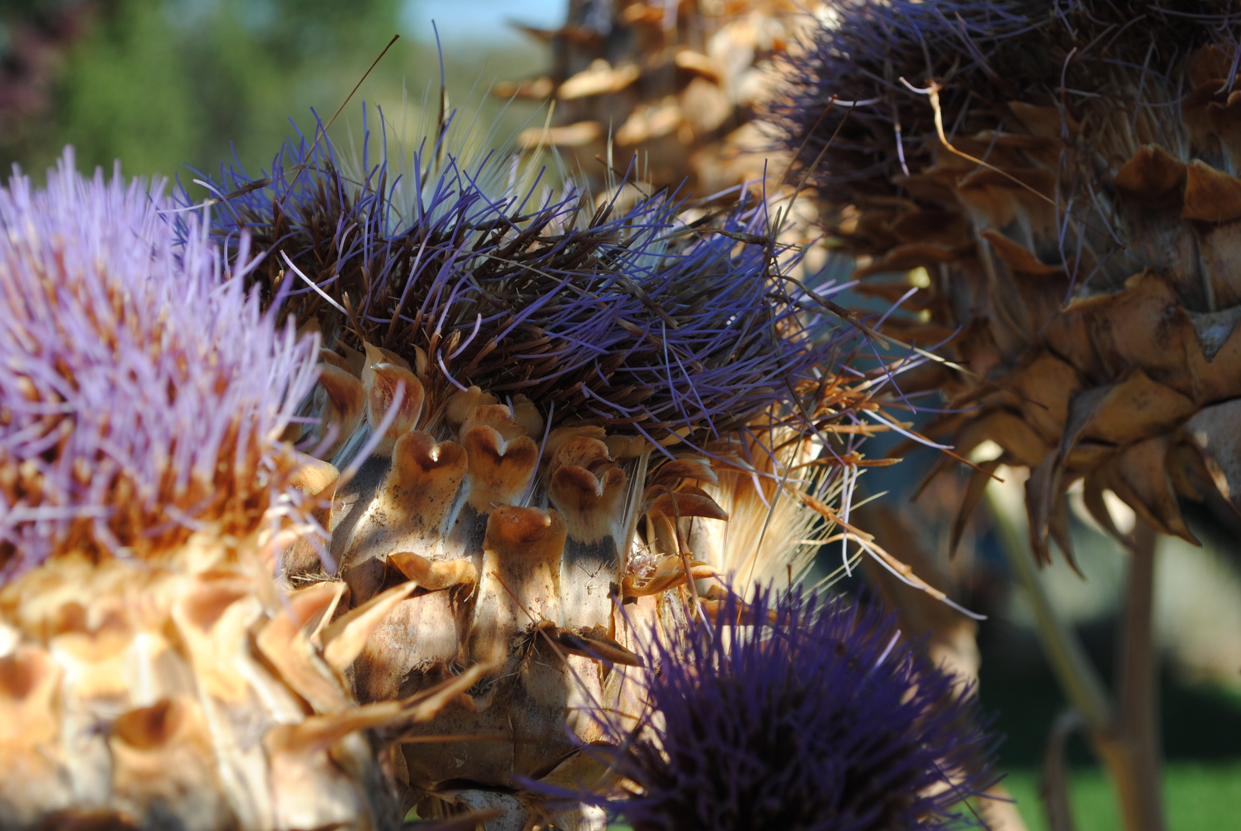 Giant Purple Artichokes, bloomed out. A favorite of bees and hummingbirds.
