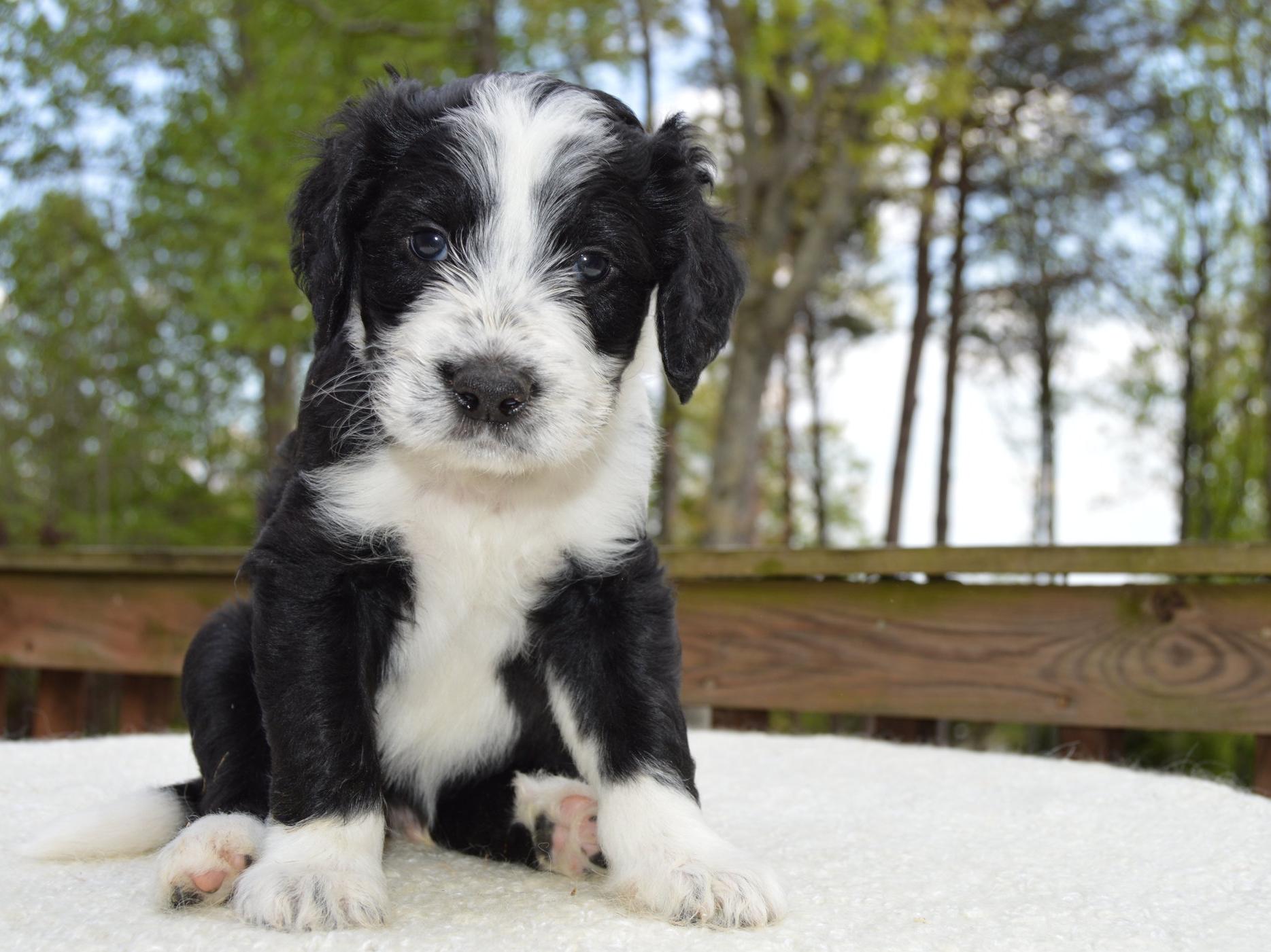 Sheepadoodle pups - gentle, inquisitive, & loyal companions