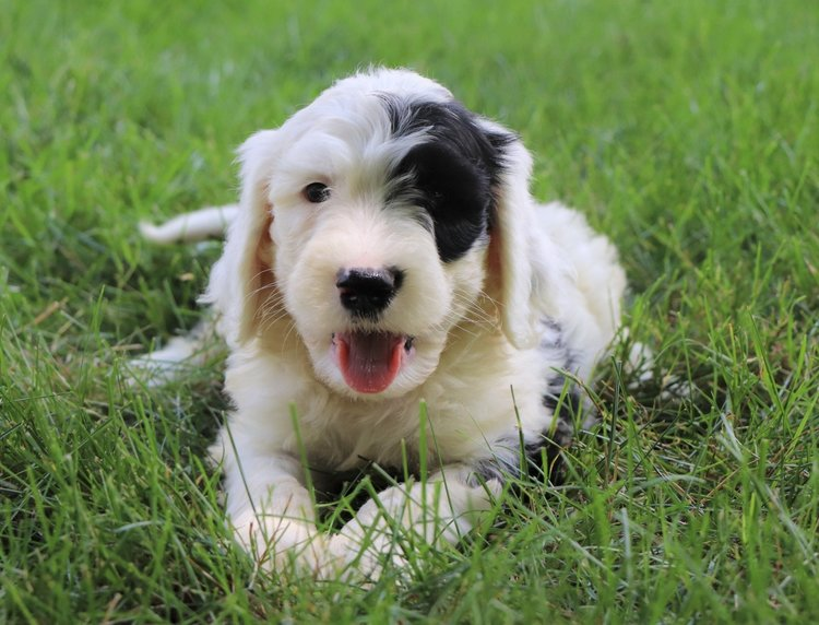gorgeous Sheepadoodle puppy from Best Sheepadoodles