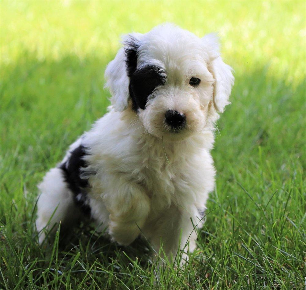 best-sheepadoodle-pup.jpg
