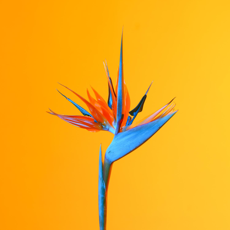 Bird of Paradise, 2018