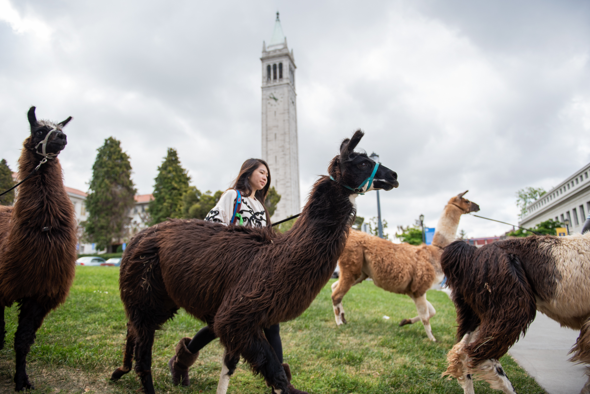 Llamas and their handlers head out near the Campanile at UC Berkeley for Llama-Palooza on Friday, April 27, 2018. | Rosa Furneaux, Special To The Chronicle
