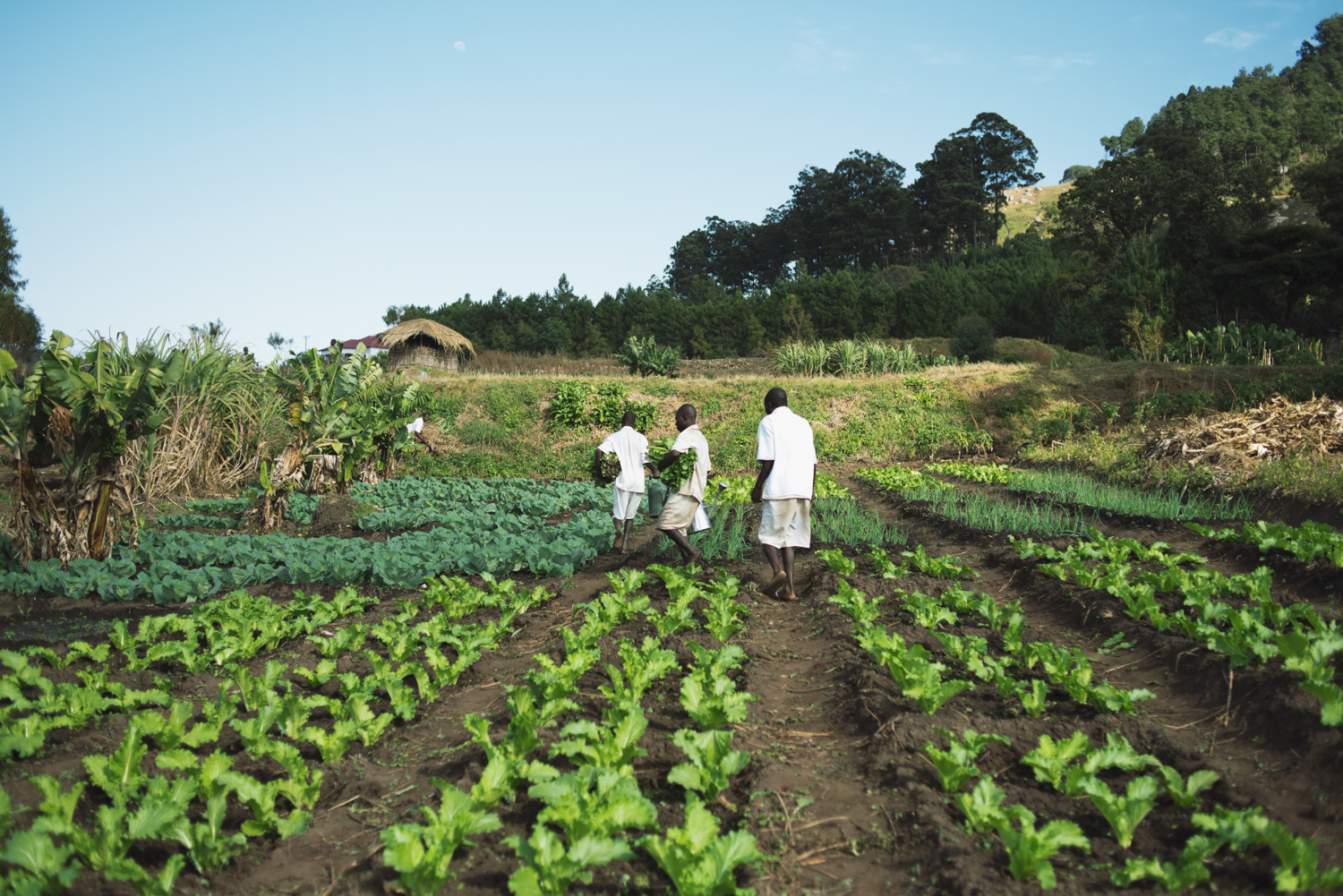Inmates at Dedza Prison tend to crops on the prison farm on Sunday, April 24, 2018. Inmates grow carrots, cabbages, bananas, maize, and sugar cane as part of the prison's rehabilitation strategy, emphasised by Station Commander Alex Watininkhu Makunganya. | Rosa Furneaux for the Eastern Daily Press