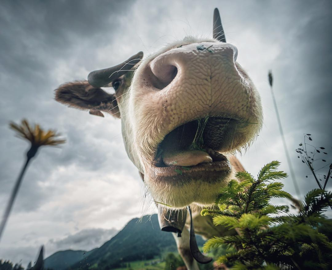Camera eating cow, Berchtesgaden, 2017.