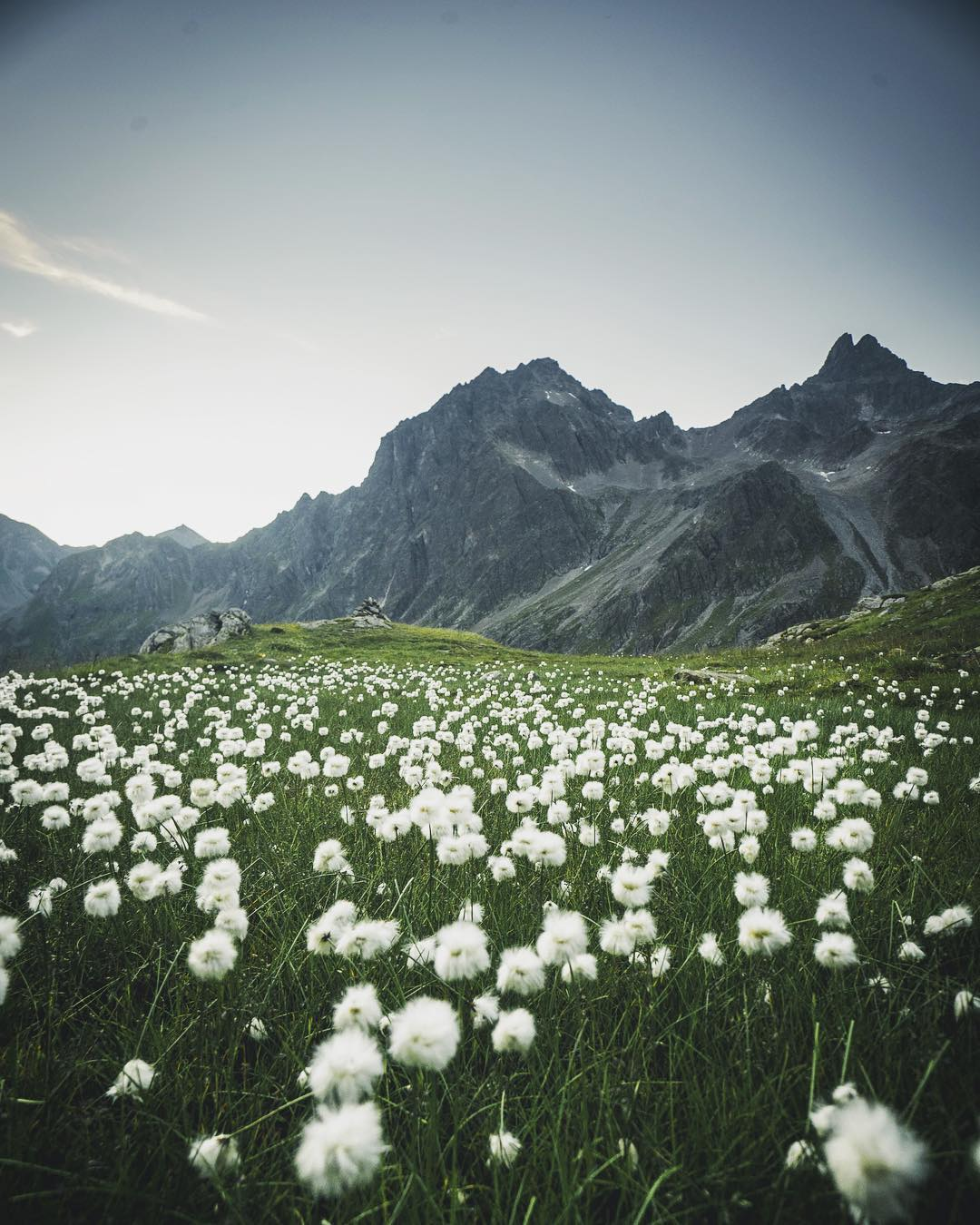 Cotton Grass, Verwall Mountains, Austria.