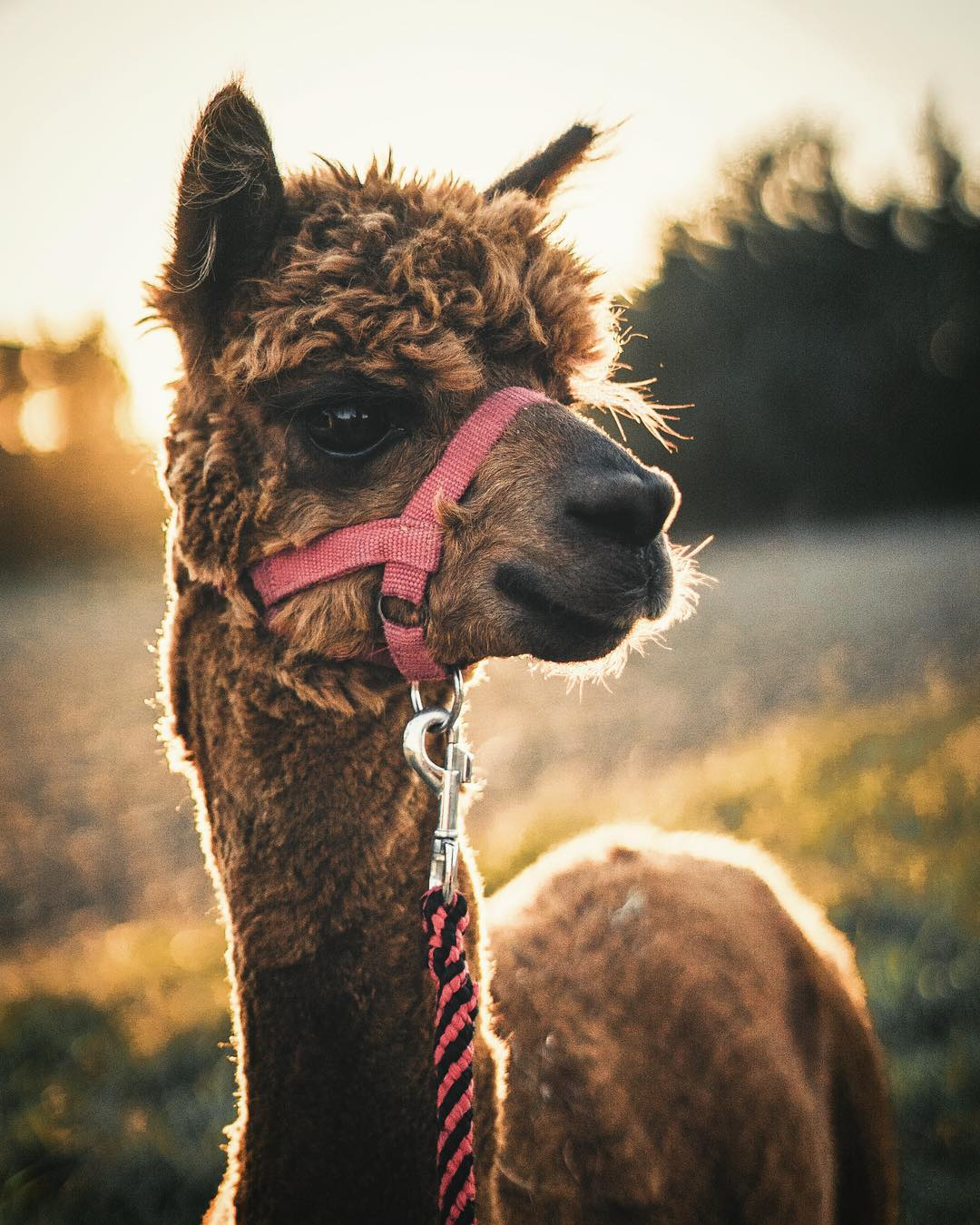 Keep calm and alpaca.
