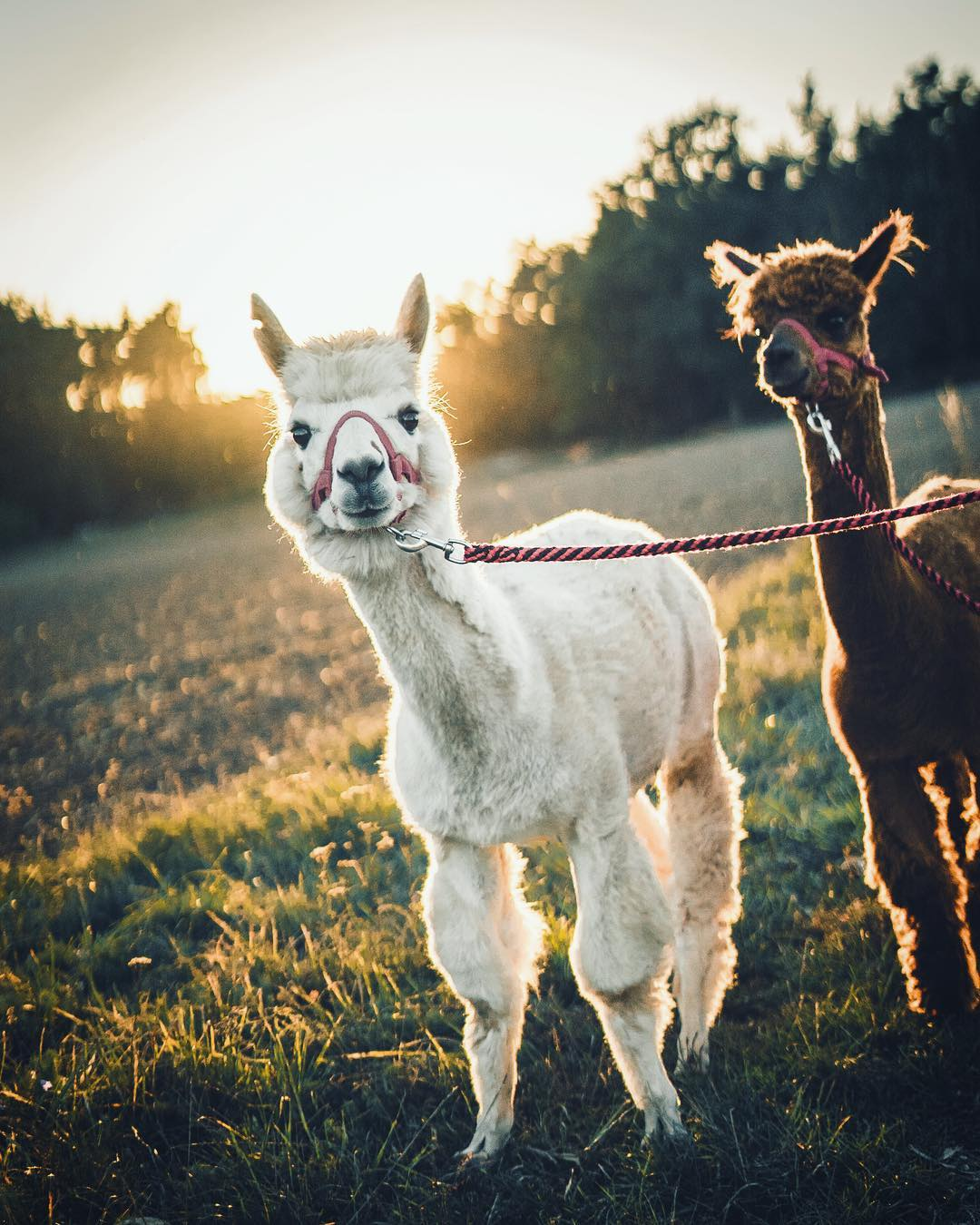 Keep calm and alpaca II.