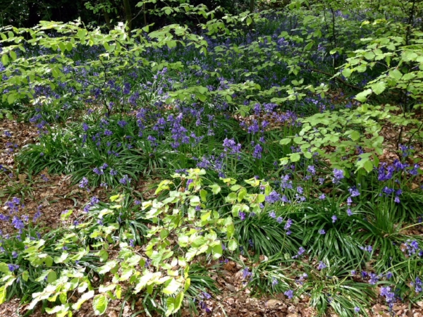 Hollies bluebells IMG_1349.jpg