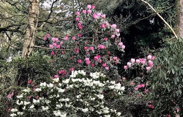 Hollies rhodo pink IMG_8711.jpg