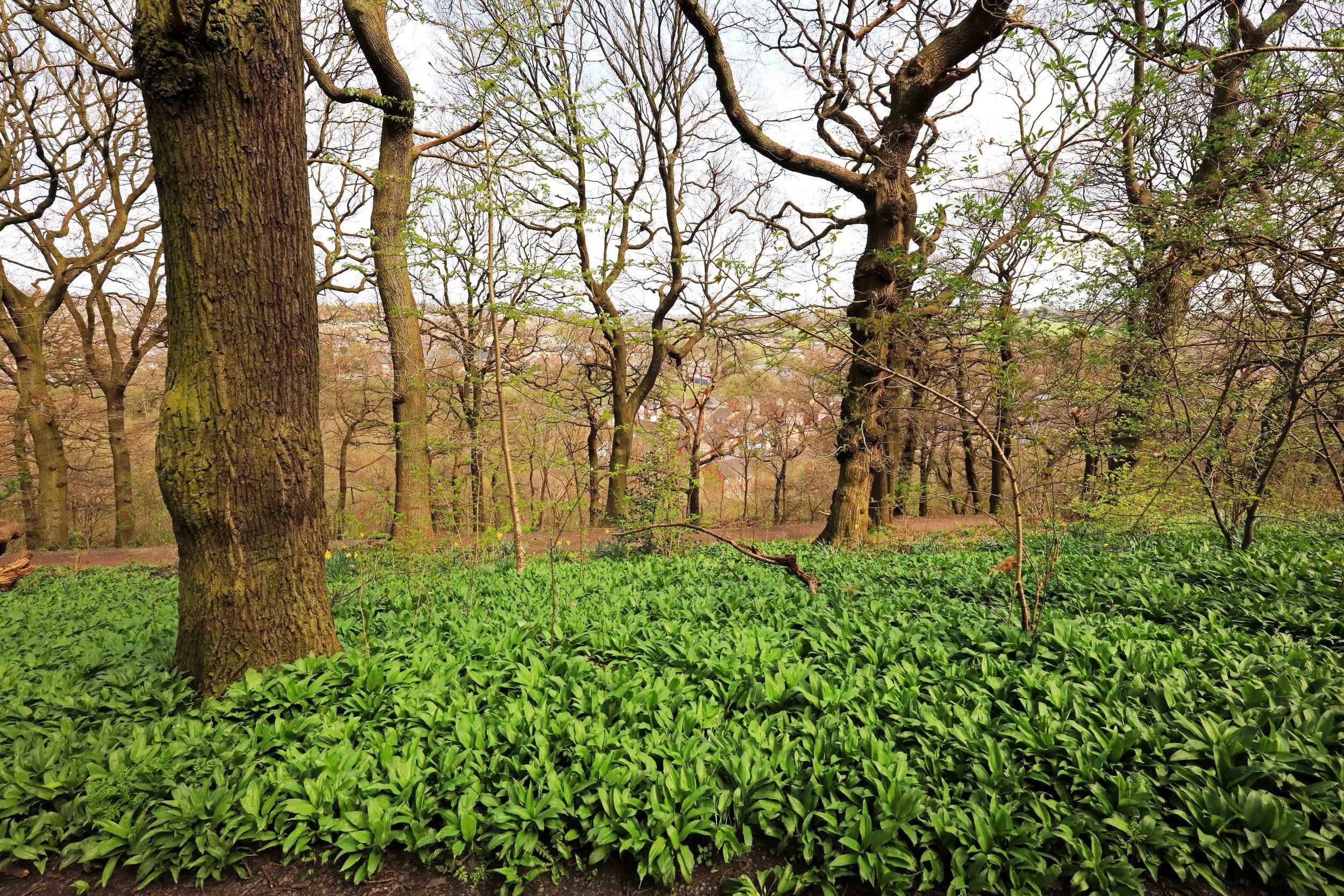 Batty's Wood, Woodhouse Ridge © JHJ