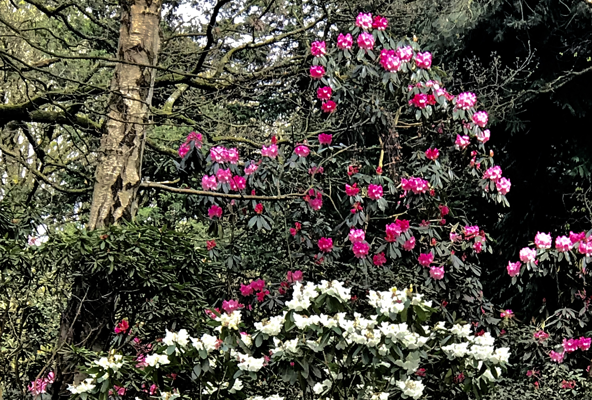 Rhododendrons, The Hollies © HP