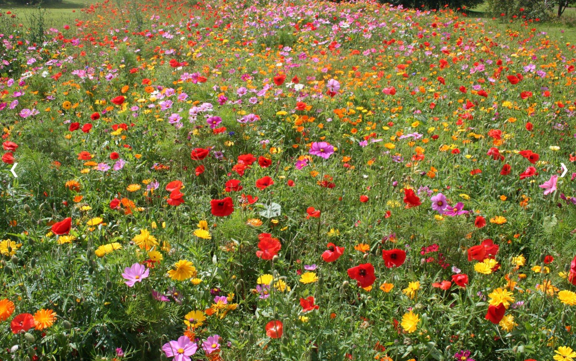 Wild Flower Meadow, West Park Fields © WPRA