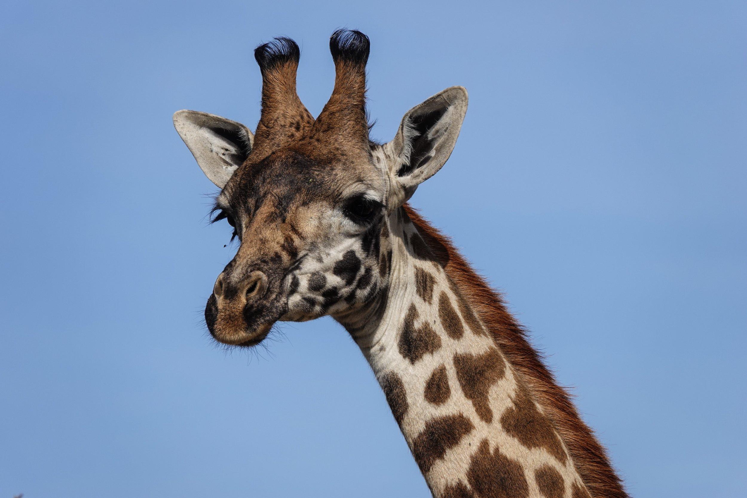 Giraffe Spotting on Safari in Kenya Ph. Ashley Torres