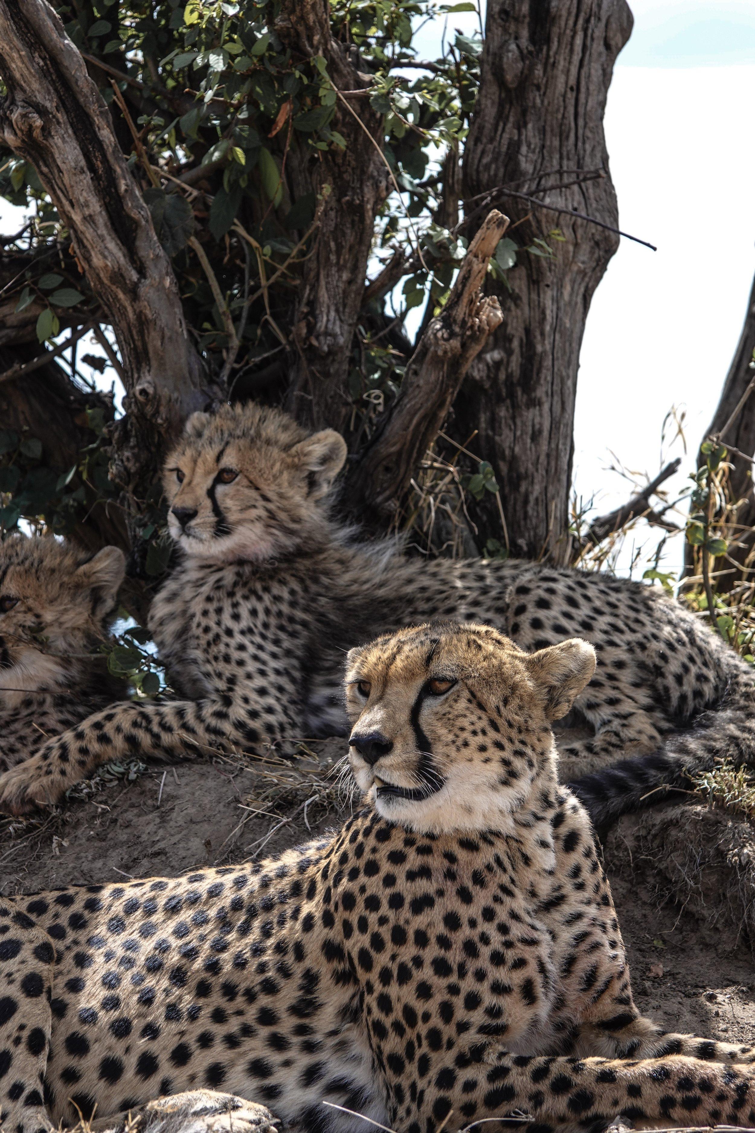 Cheetah + Cubs in Kenya, Africa Ph. Ashley Torres