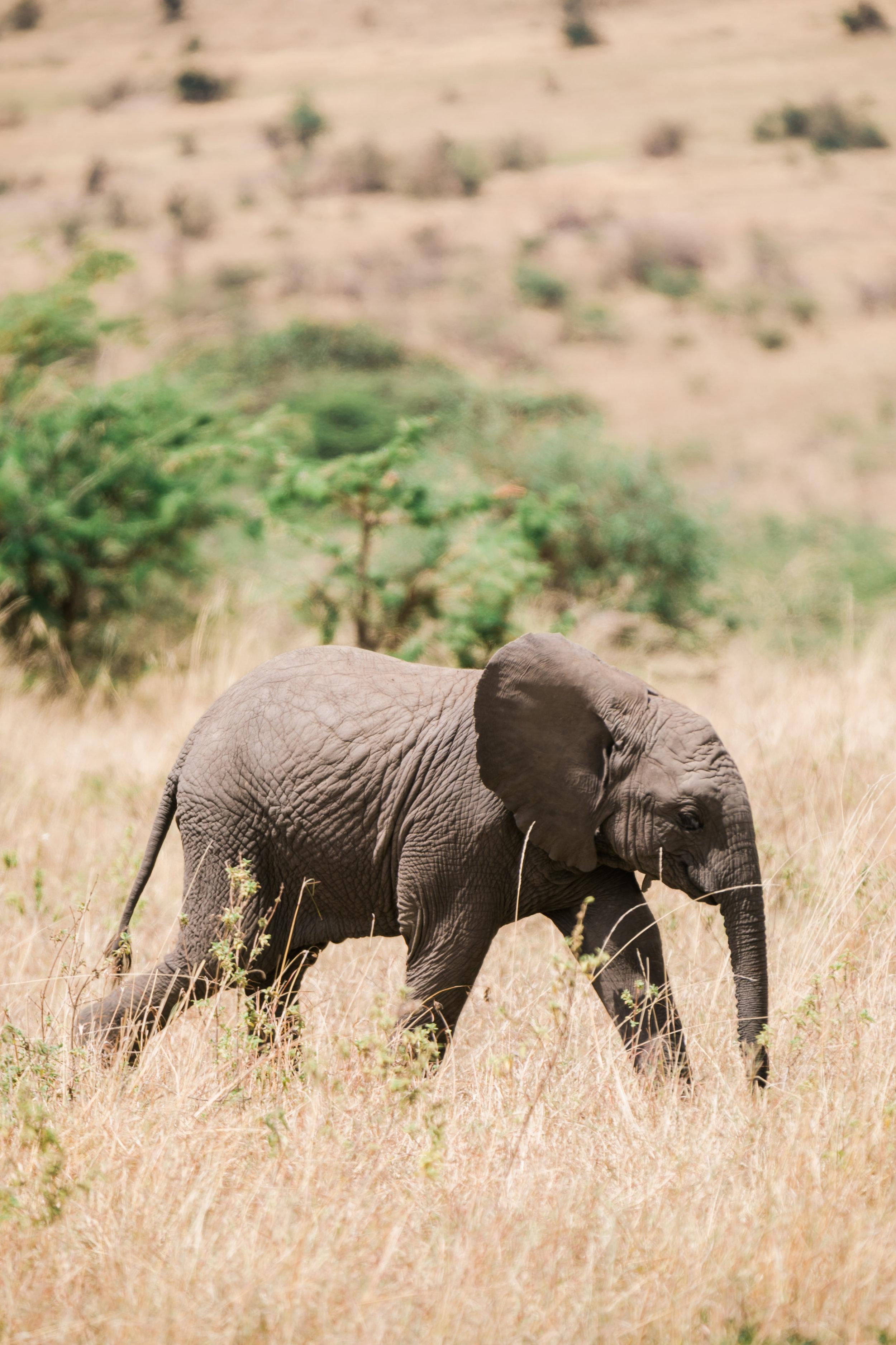 Baby Elephant - Kenya Safari Ph. Valorie Darling
