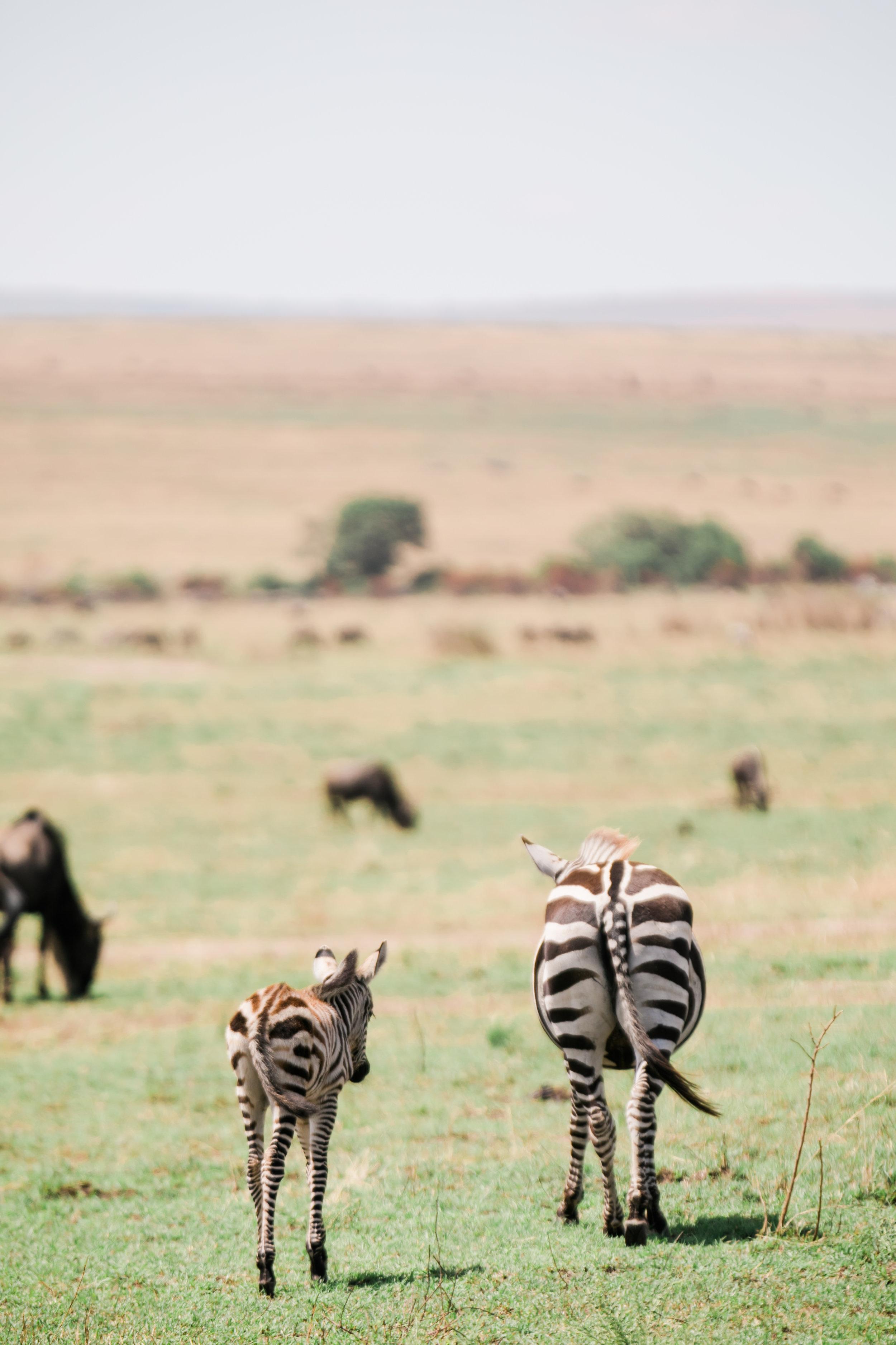 Baby Zebra Spotting on Safari Ph - Valorie Darling