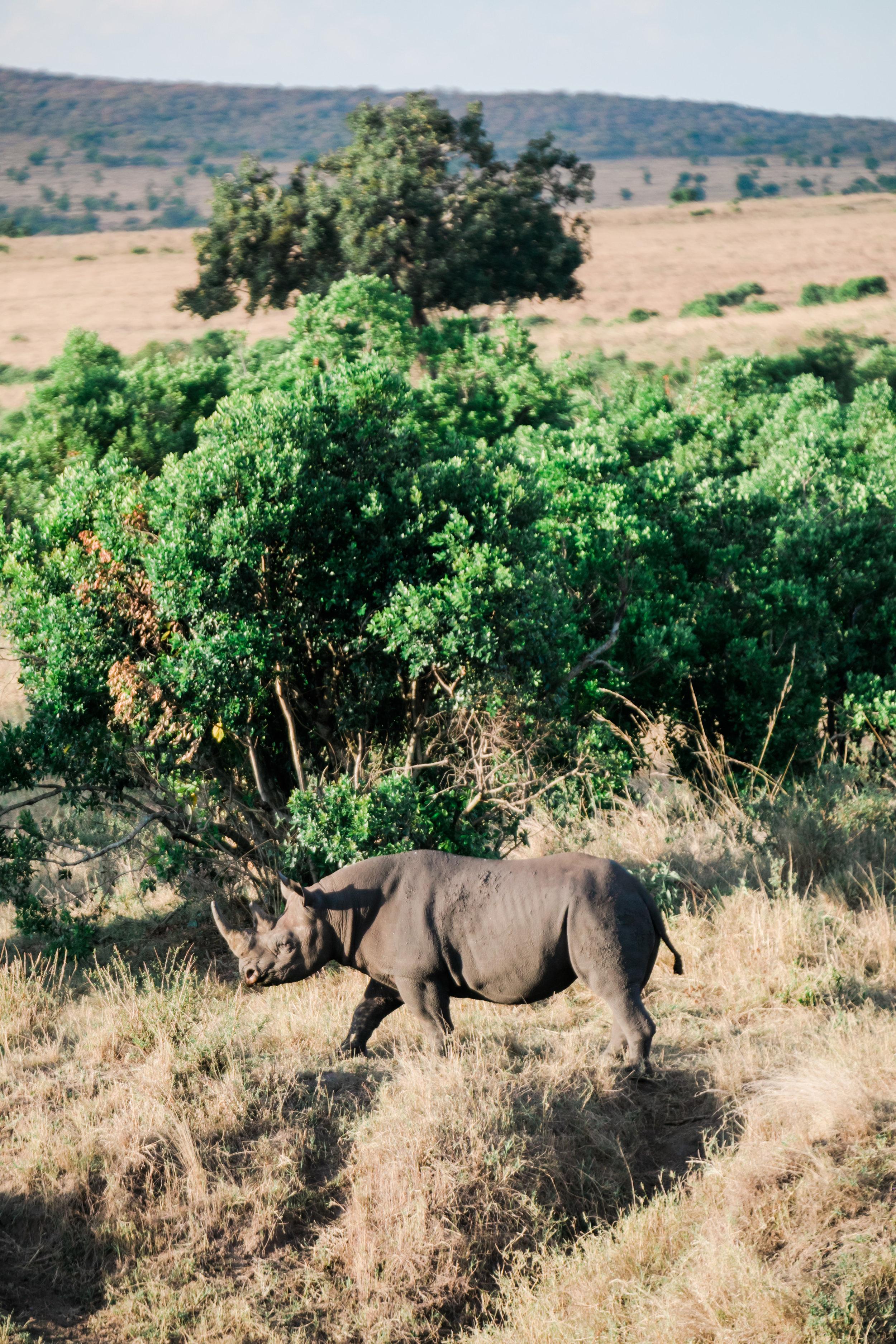 Rhino in Maasai Mara, Kenya Ph. Valorie Darling