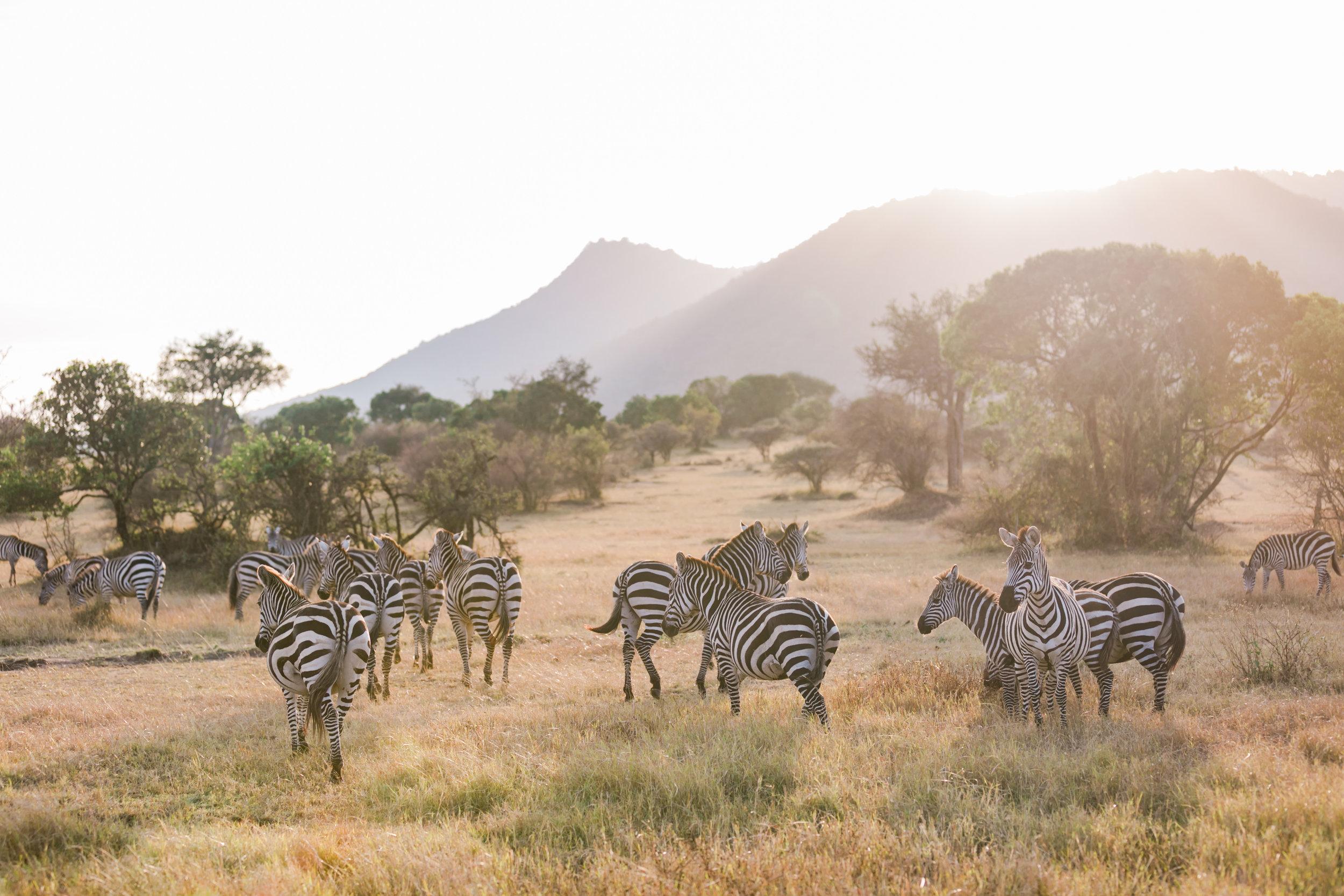 Zebras in Maasai Mara, Kenya Safari Ph. Valorie Darling