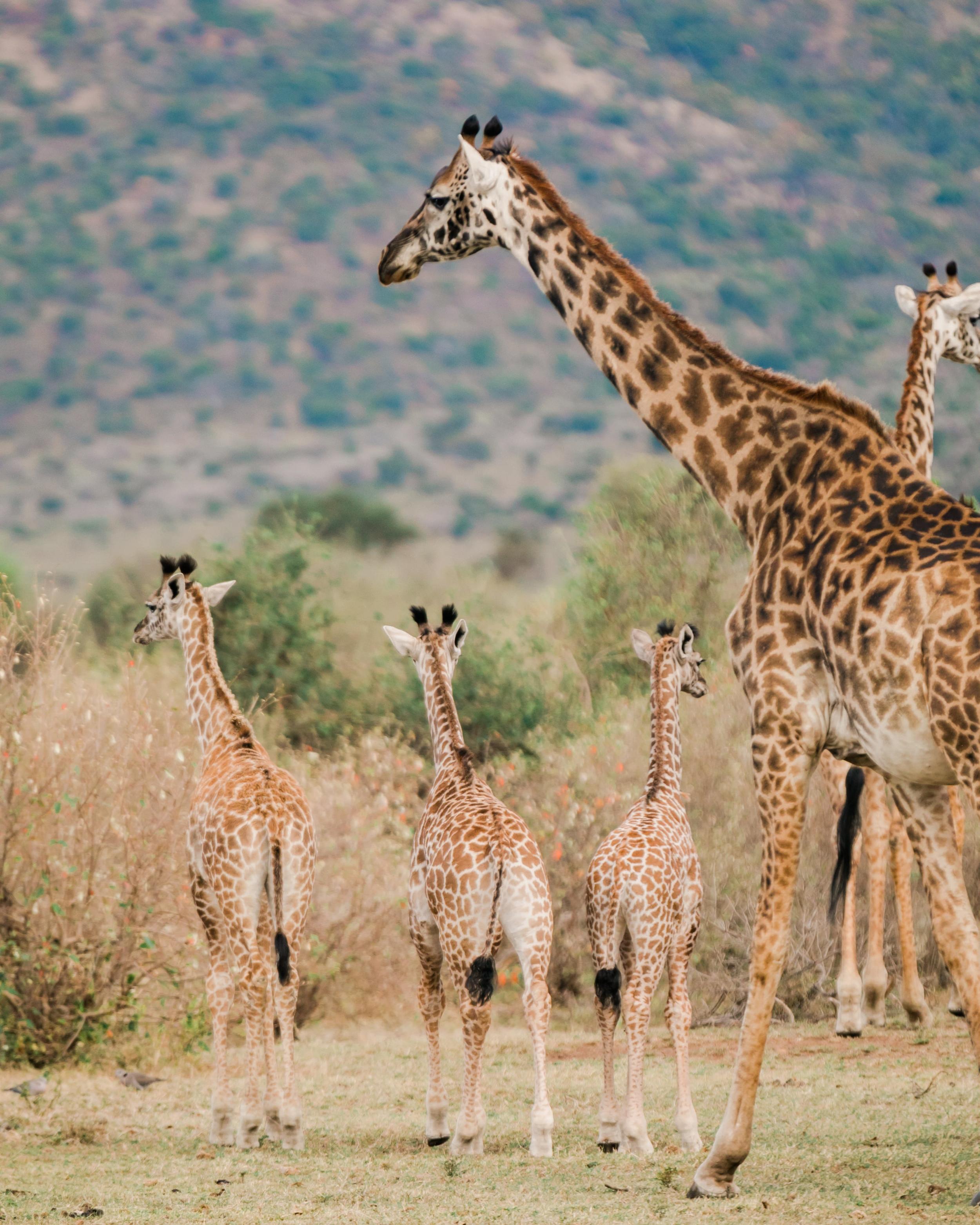 Giraffes on Safari in Kenya Ph. Valorie Darling