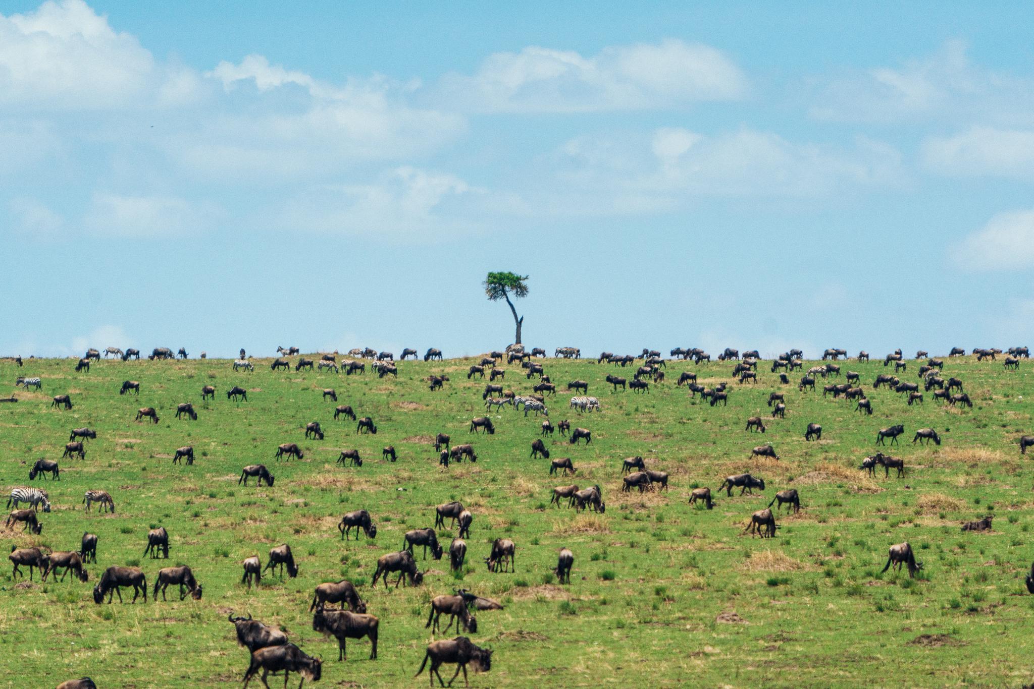Wildebeest Great Migration ph Dave Krugman