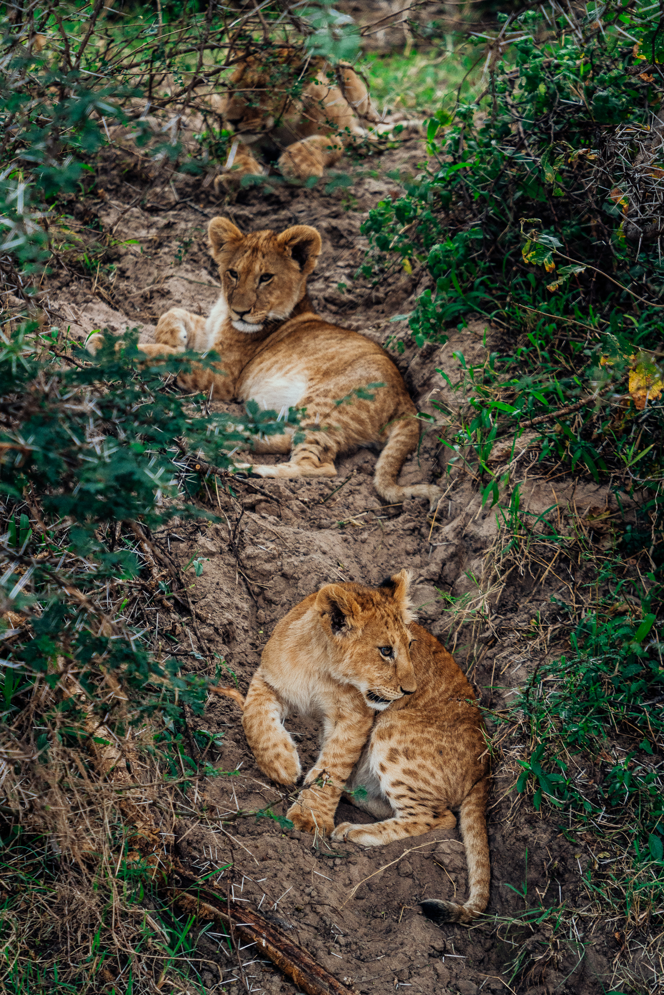 Lion cubs on safari in Kenya, Africa Ph. Dave Krugman