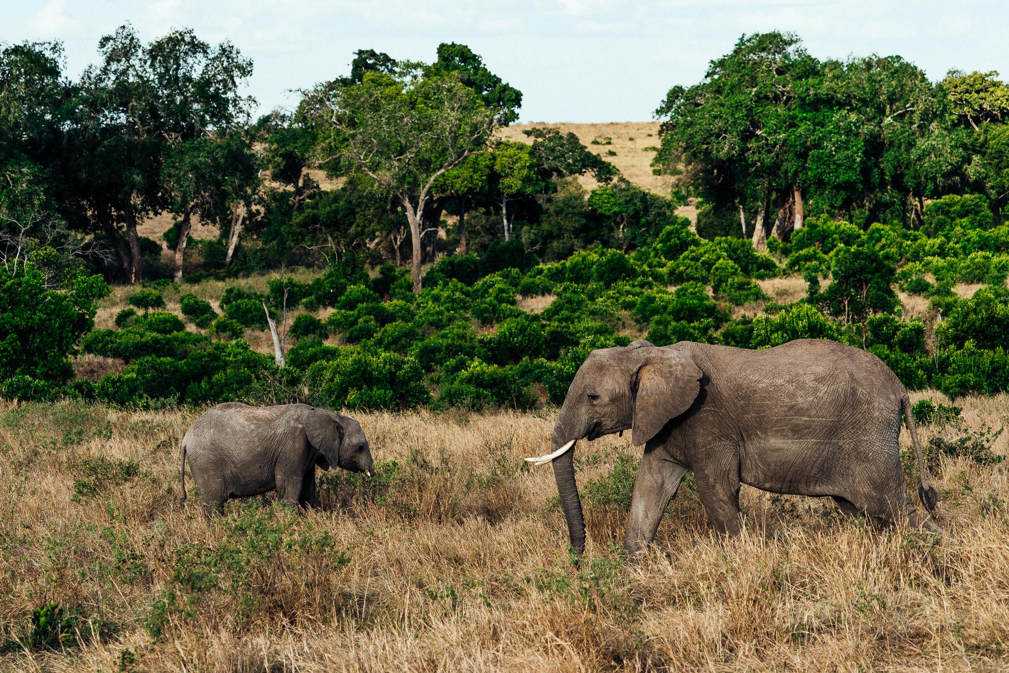 Elephants in the Maasai Mara Ph. Dave Krugman